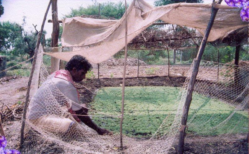 Azola, the nitrogen rich food for cattler